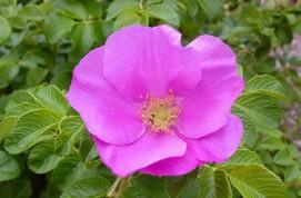 Rosa rugosa 'Rubra' © RHS